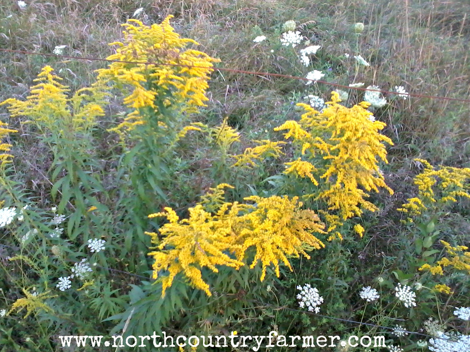 Golden rod: properties, use and contraindications 69