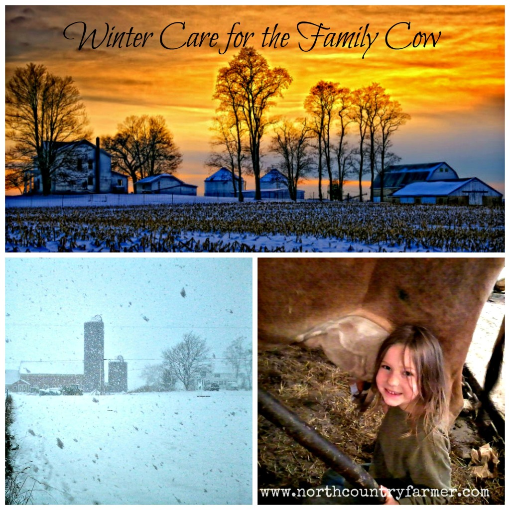 Winter Care for the Family Cow