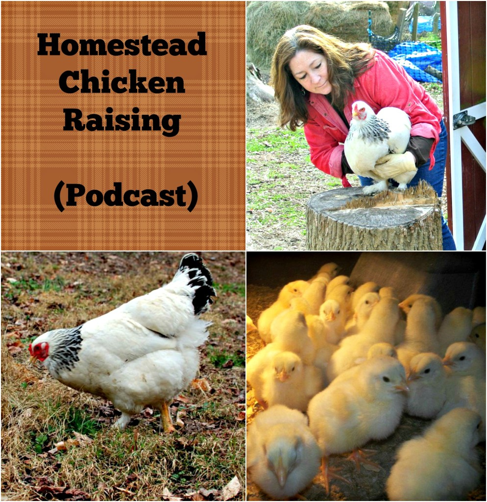 Homestead Chicken Raising (Podcast)