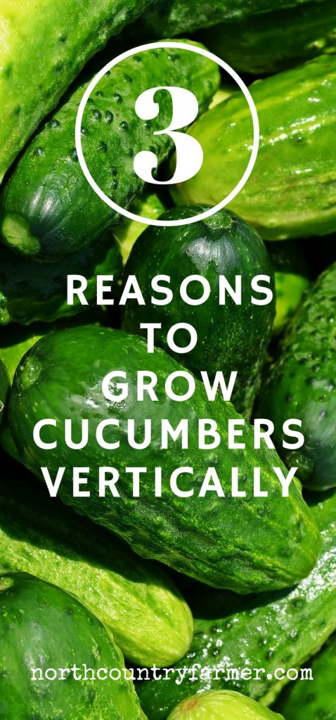 3 Reasons To Grow Cucumbers Vertically