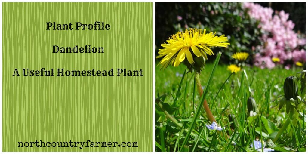 Plant Profile~Dandelion