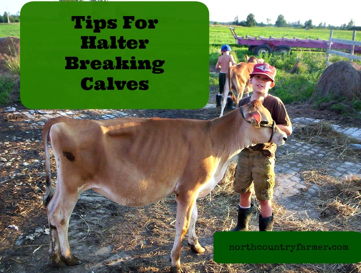 Tips For Halter Breaking Calves
