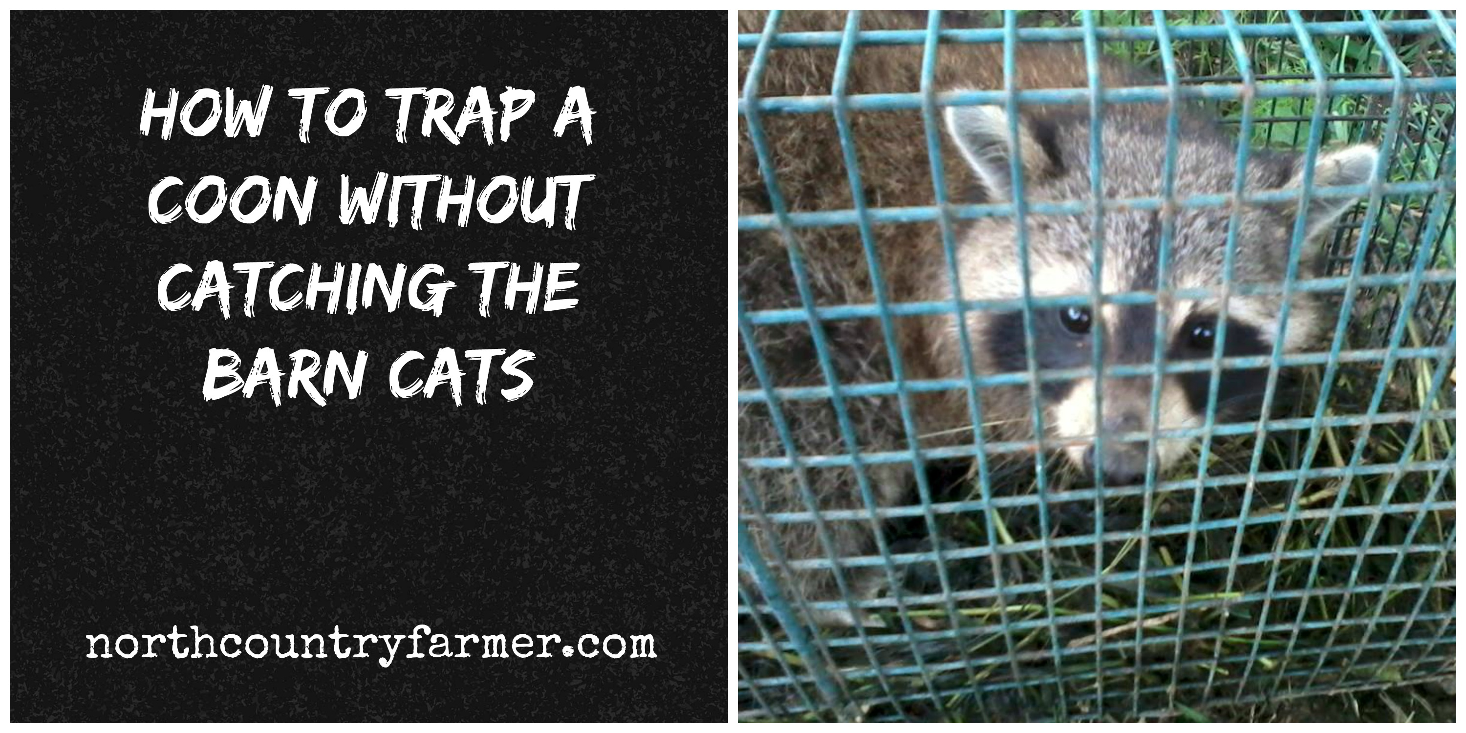 How To Trap A Coon Without Catching The Barn Cats