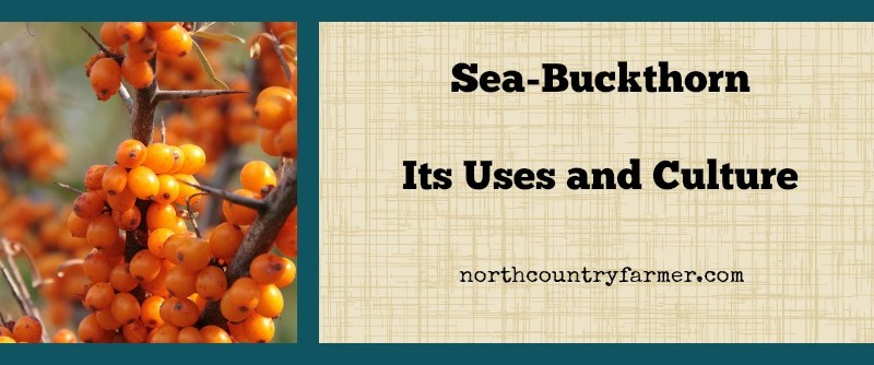 Sea-Buckthorn ~ Plant Profile