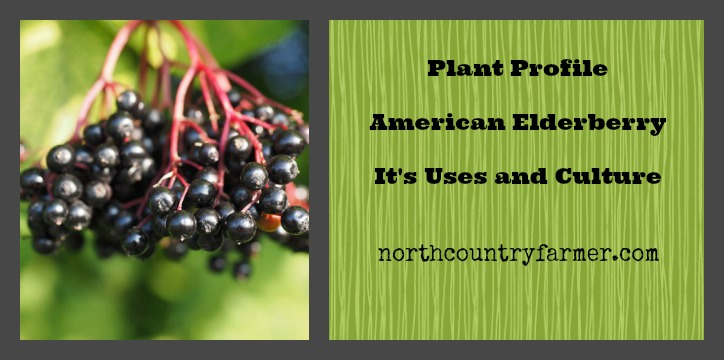 American Elderberry, it's Uses and Culture