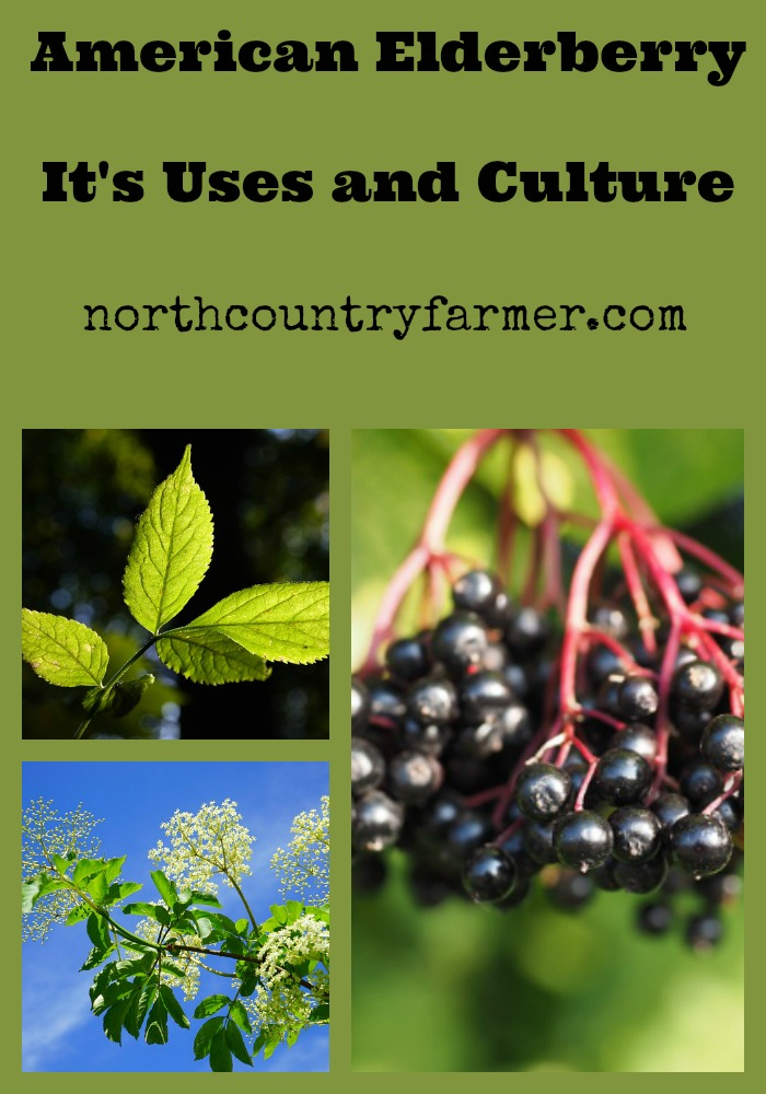 Plant Profile, American Elderberry