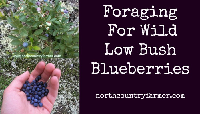 Foraging For Wild Low Bush Blueberries