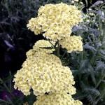 achillea-millefolium-1340686_640