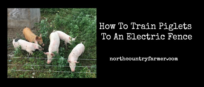 How To Train Piglets To An Electric Fence