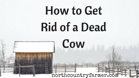 How To Get Rid of a Dead Cow