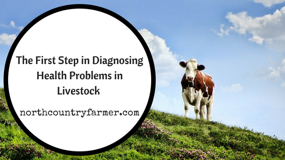 The First Step in Diagnosing Health Problems in Livestock (Taking a Temperature)